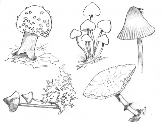 Mushrooms illustration drawing for watercolor by Laure Paillex