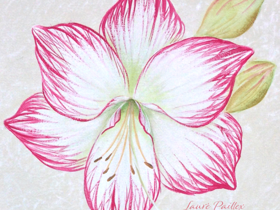 Pink Amaryllis close-up acrylic painting packet by Lauré Paillex